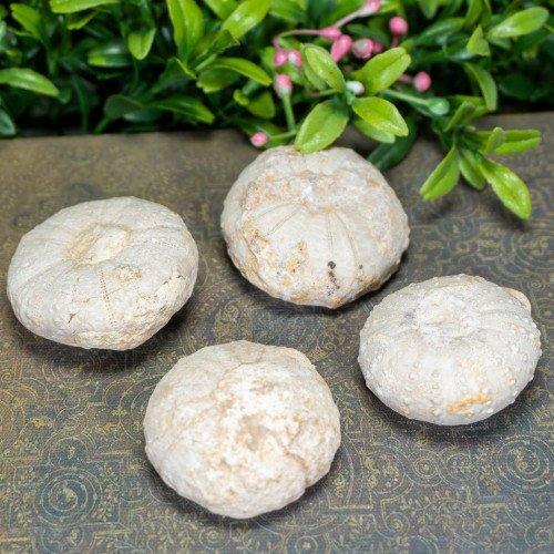 Rough Fossilized Sea Urchin